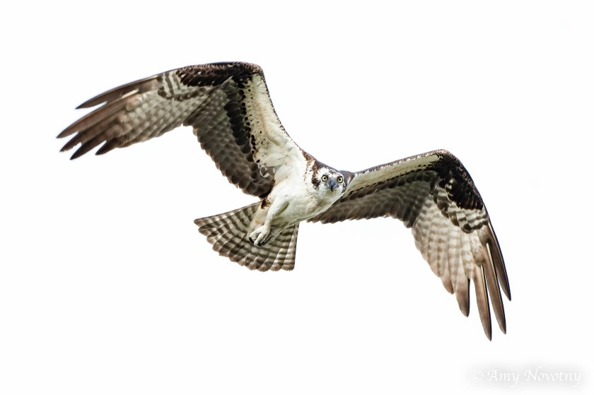 Osprey juvenile in flight 9340