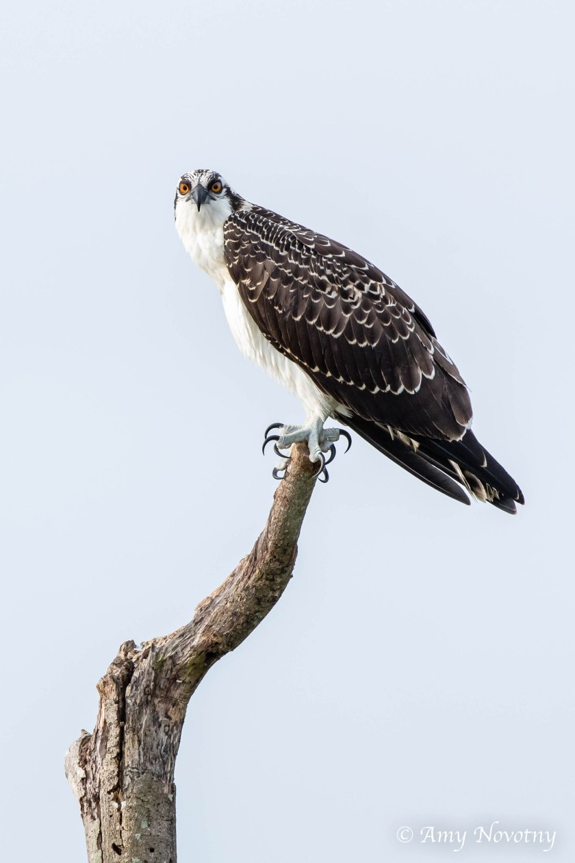 Osprey juvenile on perch 9381