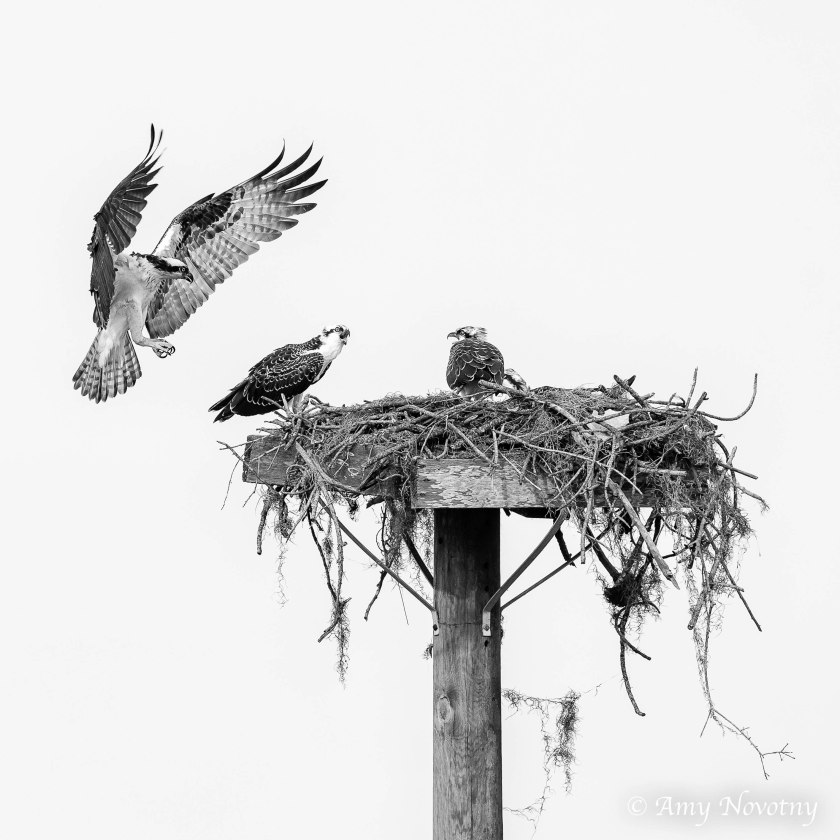 Osprey juveniles on nest 9370 bw