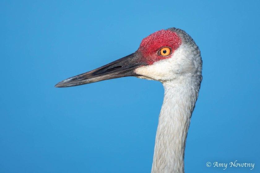 Sandhill crane adult 8785