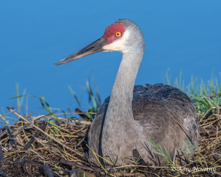 Sandhill crane and nest 8698