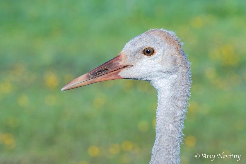 Sandhill crane juvenile 8516
