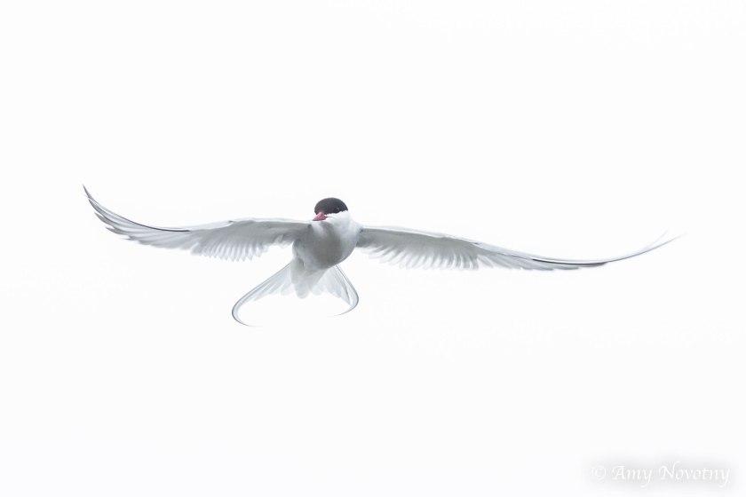 arctic tern 4132