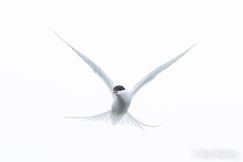 arctic tern 4133