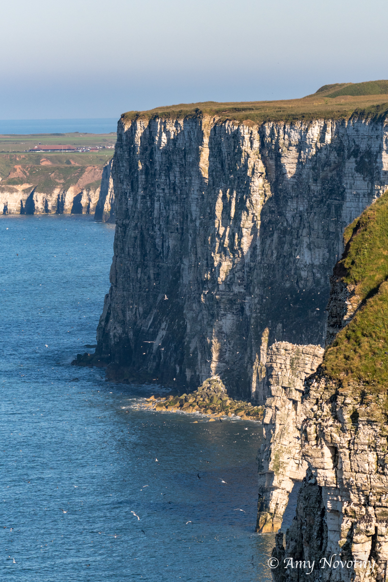 Bempton Cliffs June 27 2744