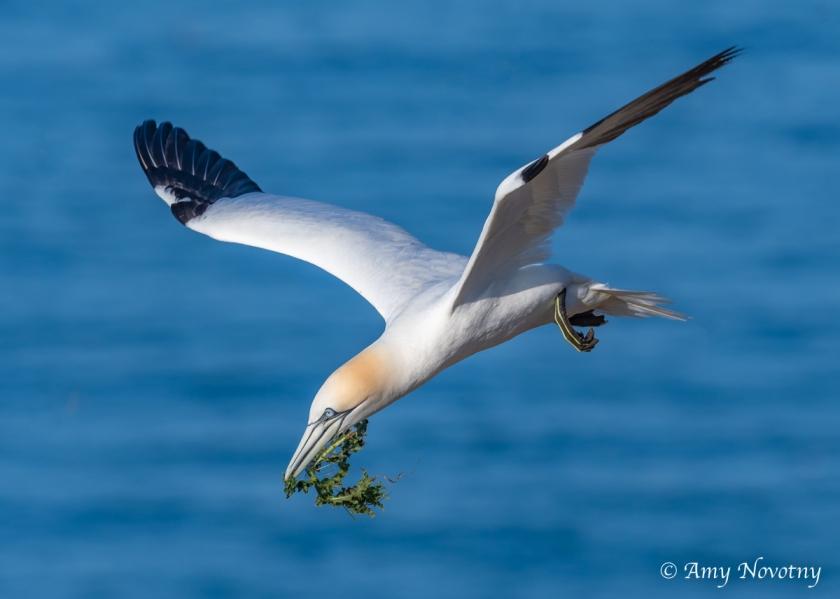 Gannet nesting June 28 7938
