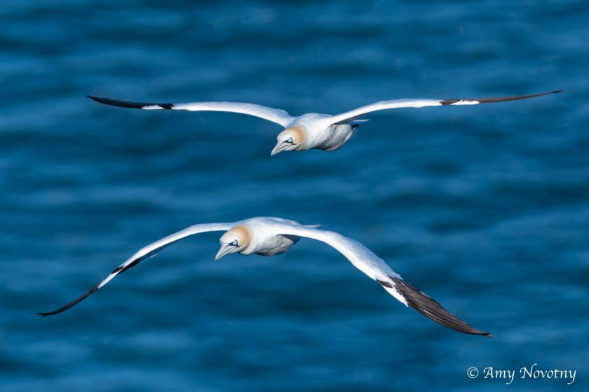 Gannets flying June 27 2949