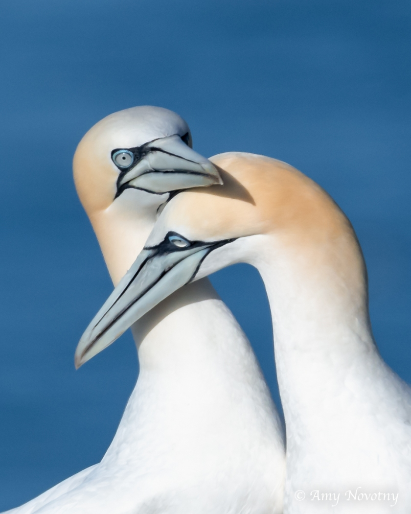 Gannets June 28 7452