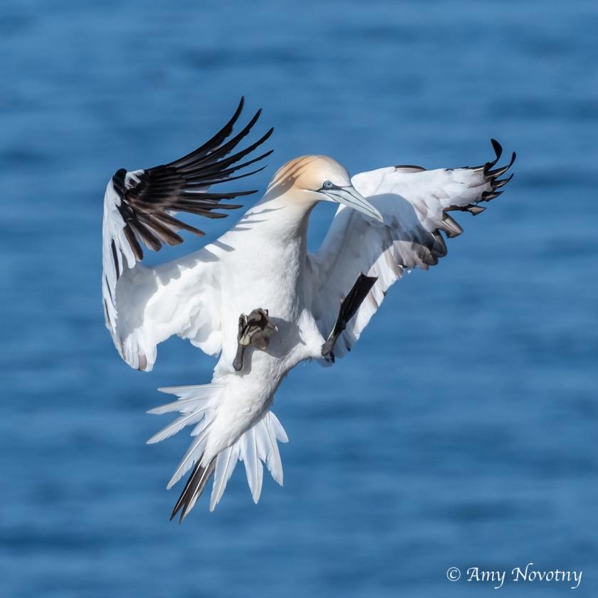 Gannets landing June 28 7814