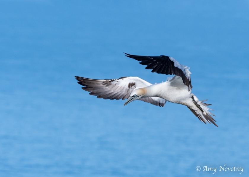 Gannets landing June 28 8088