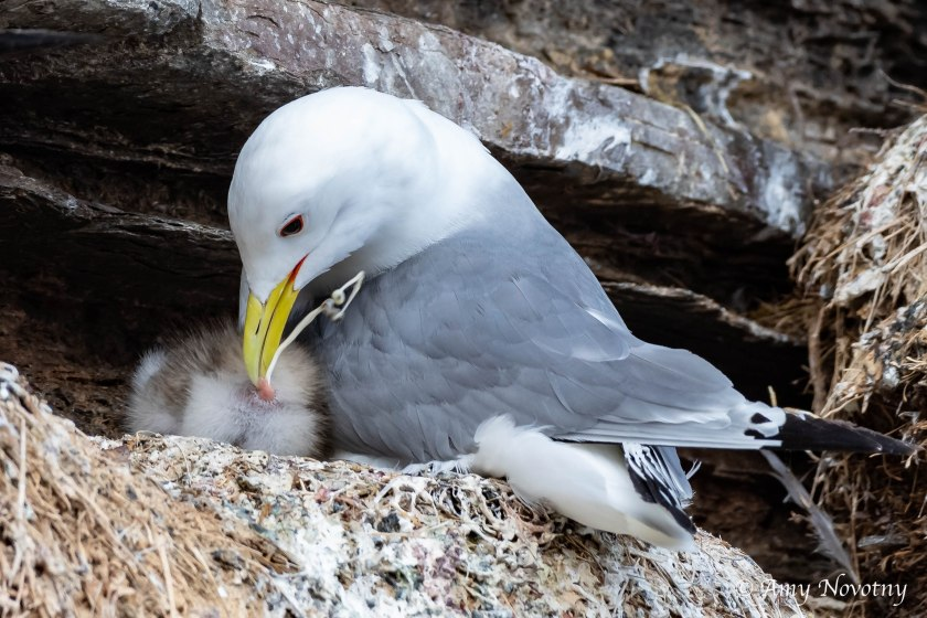 kittiwake baby defecating 2556