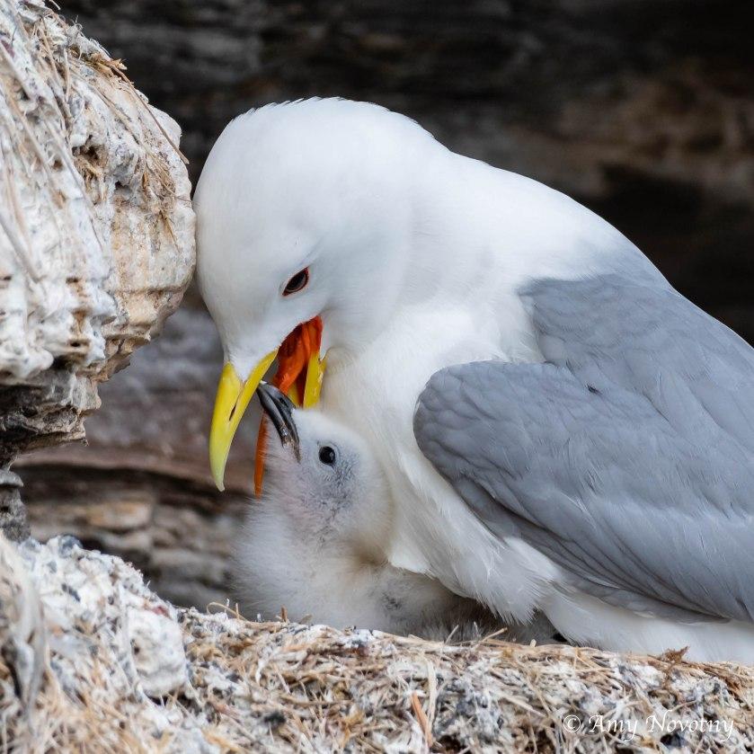 kittiwake baby pecking 2338