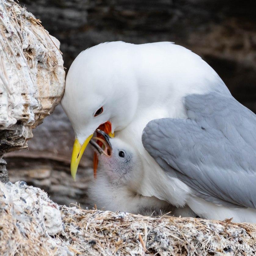 kittiwake baby pecking 2346