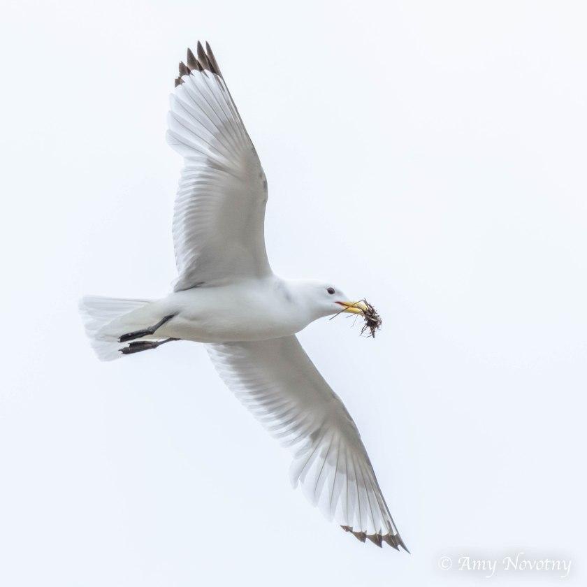 kittiwake soaring 2062