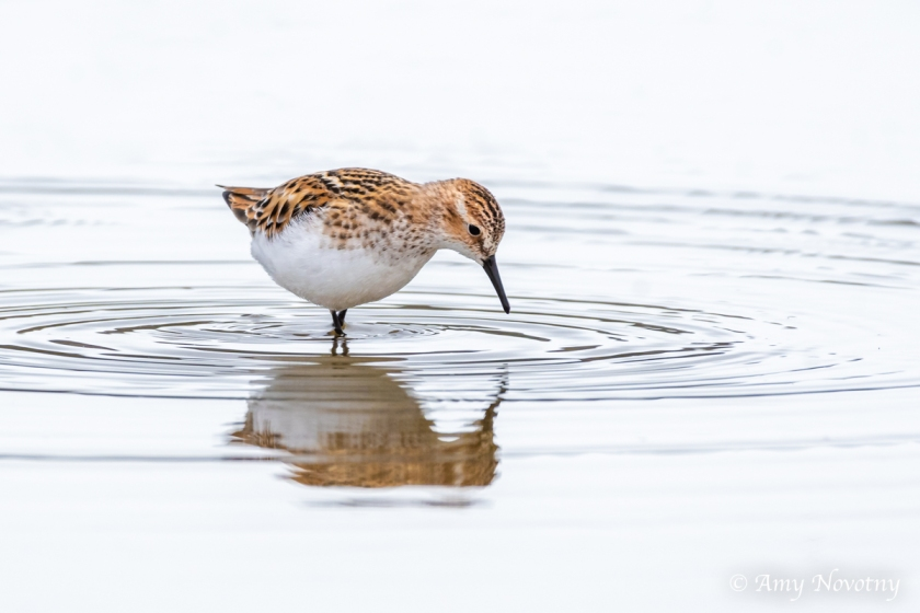 Little Stint 0696