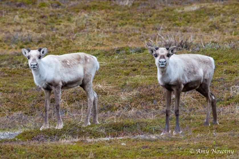 Reindeer Sandfjord 9924