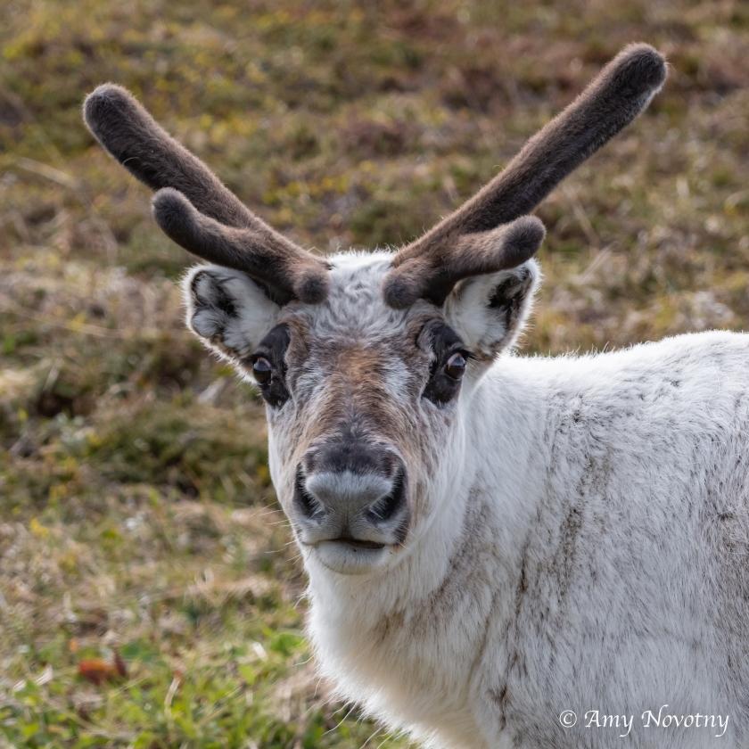 Reindeer Sandfjord 9975
