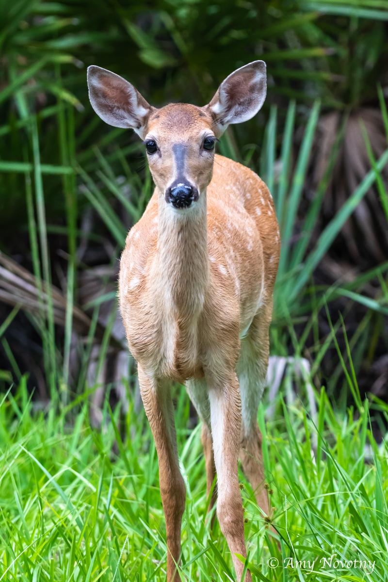 deer July 16 8410.jpg