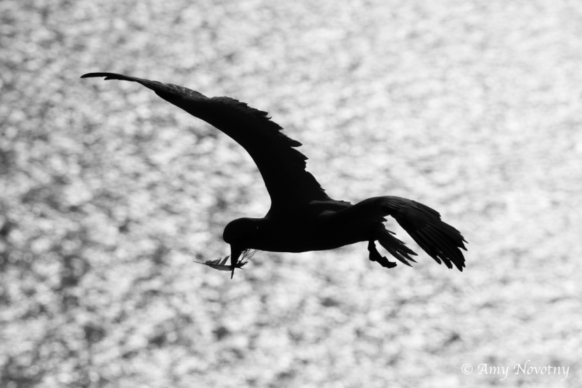 gannet silhouette June 29 8862