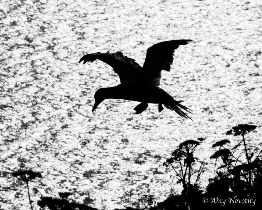 gannet silhouette June 29 9119