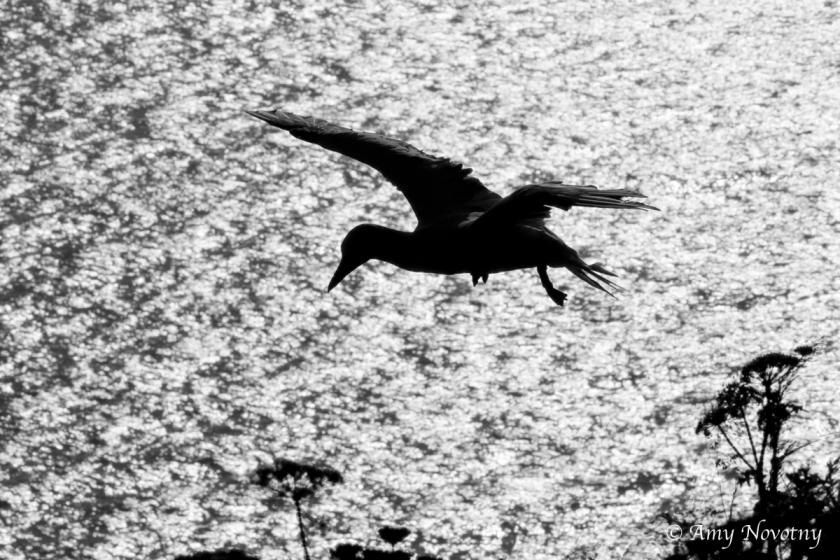 gannet silhouette June 29 9123