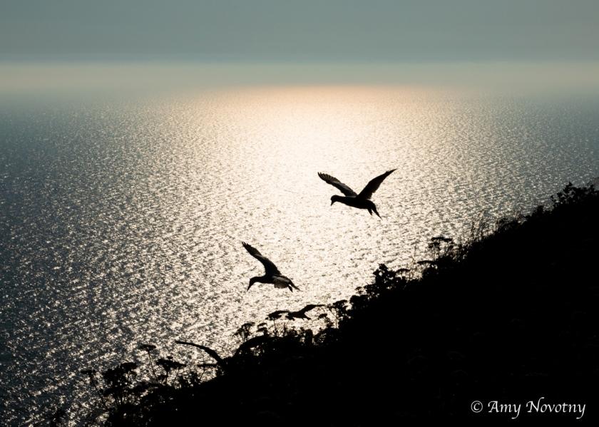 gannets silhouette 9289