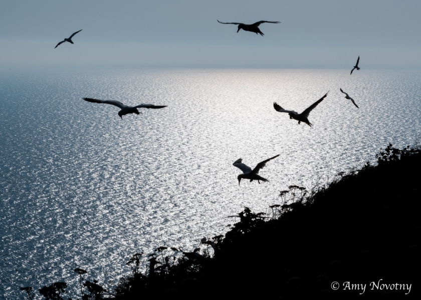 gannets silhouette 9414