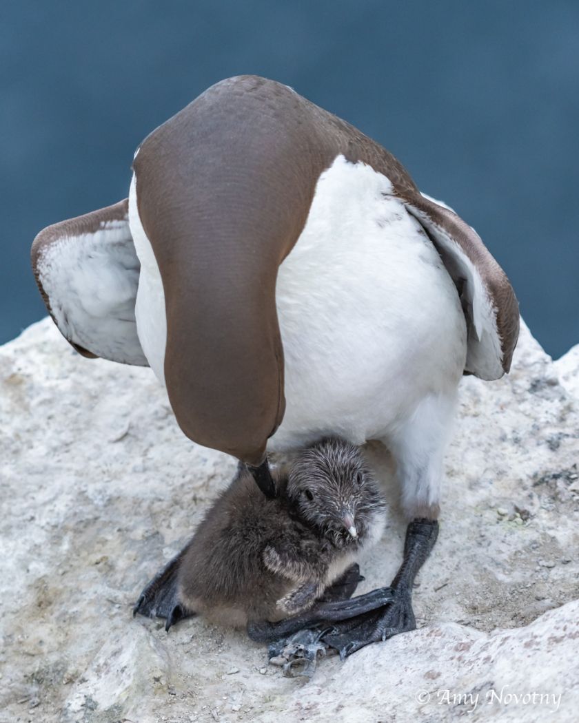 Murre and chick July 8 6133