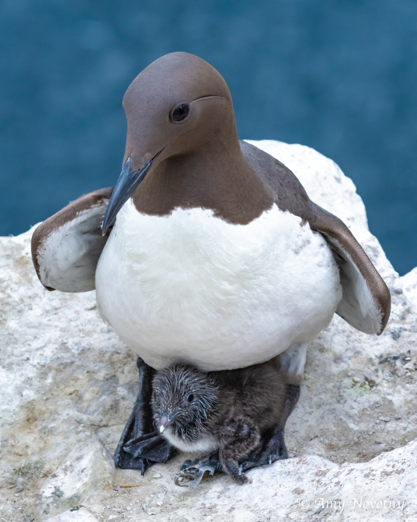Murre and chick July 8 6143