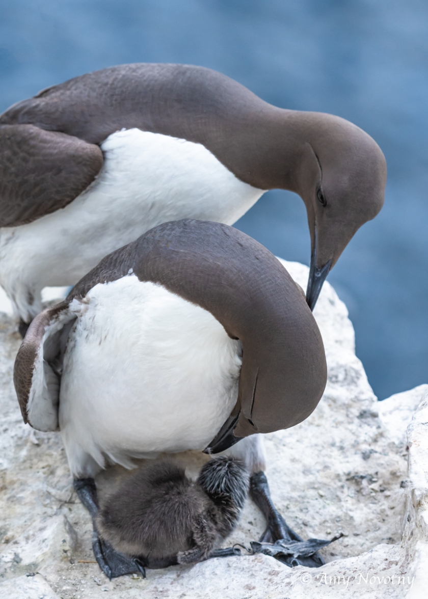 Murre and chick July 8 6789