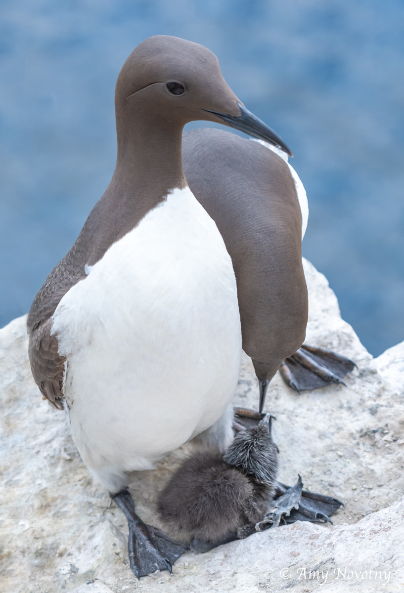 Murre and chick July 8 6885