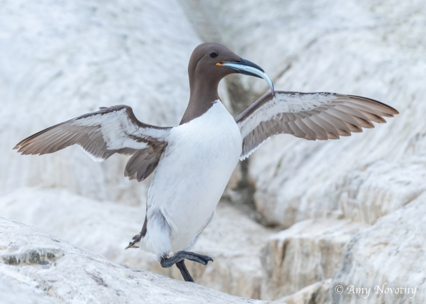 Murre with fish July 8 3535