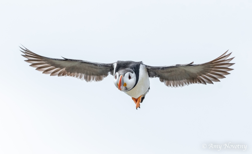 Puffin flying July 5 8593