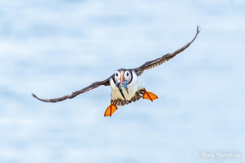 Puffin flying July 8 7928