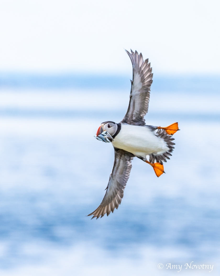 Puffin flying July 8 8278