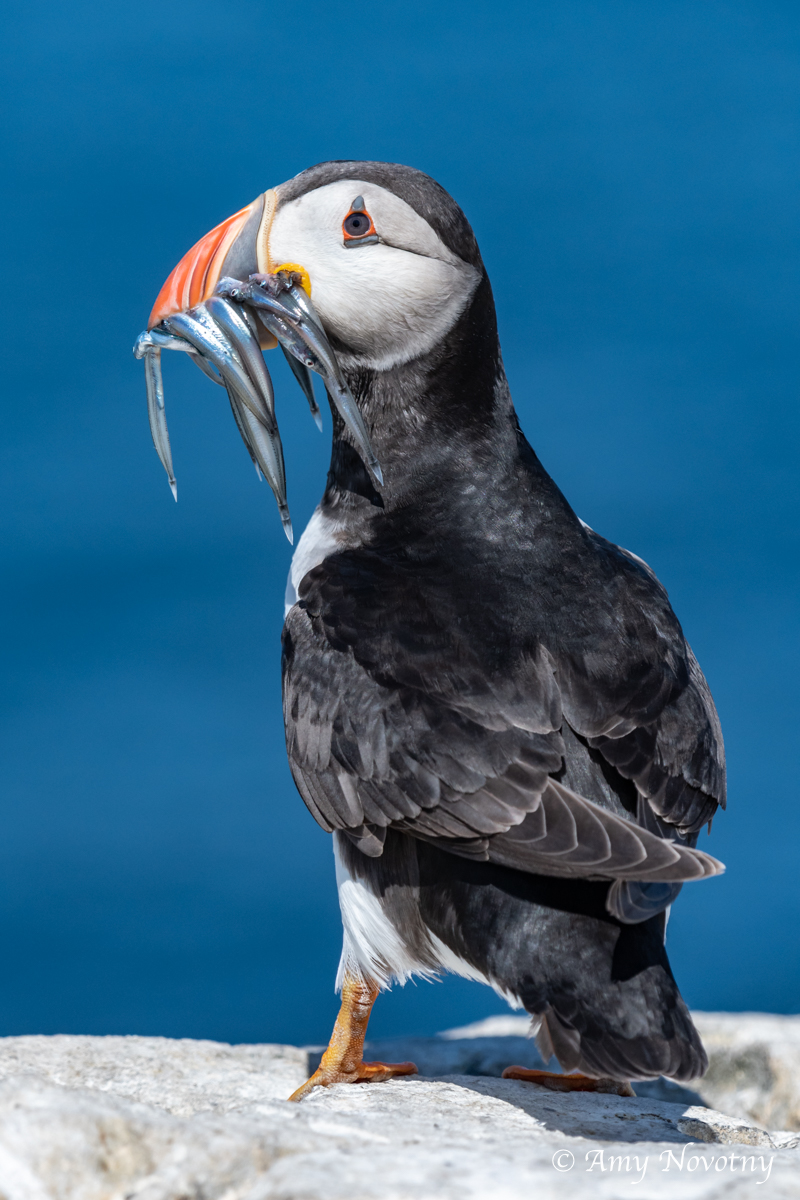 Puffin with fish July 4 3110