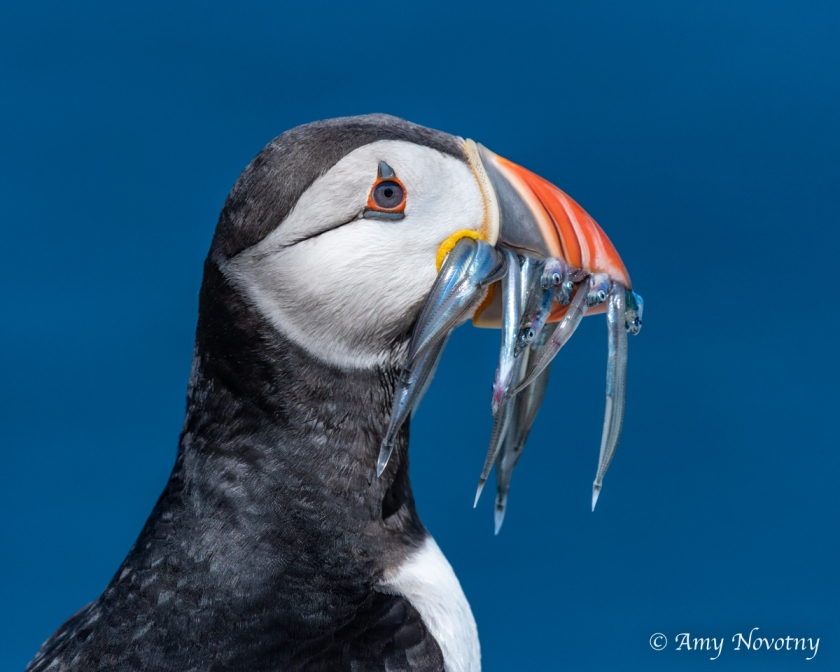 Puffin with fish July 4 3157