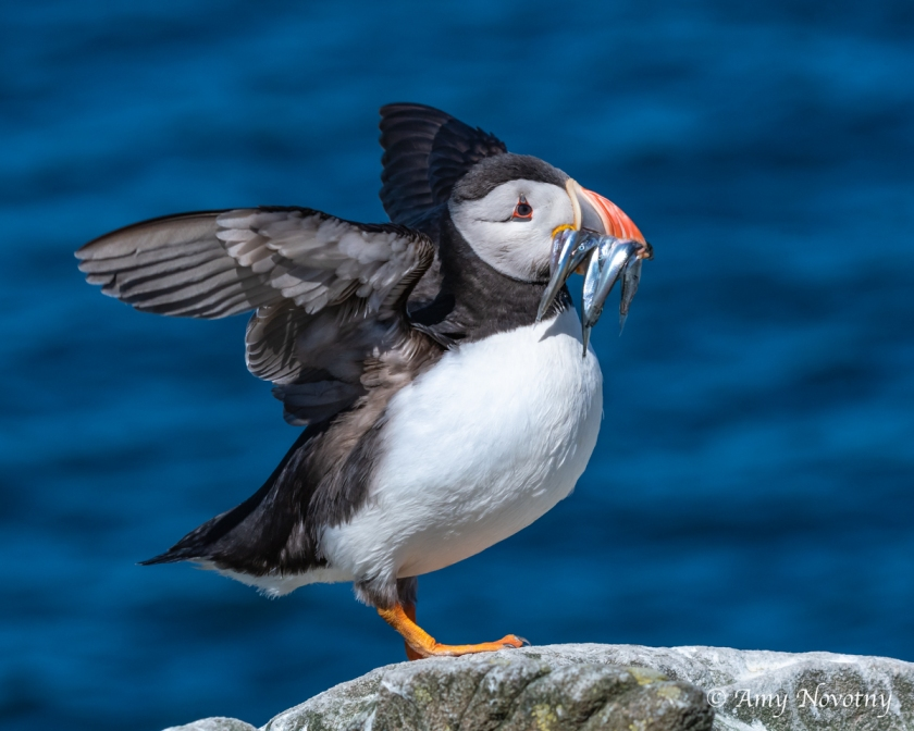 Puffin with fish July 4 3279