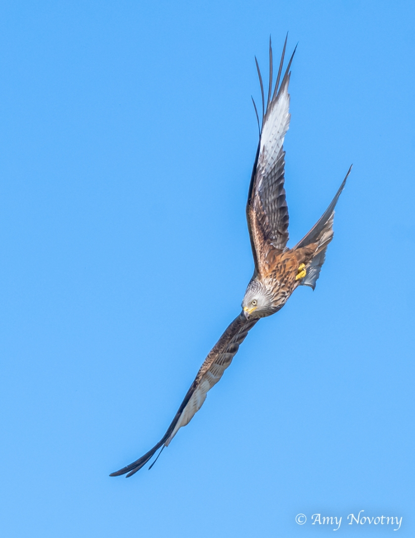 red kite diving June 29 3658