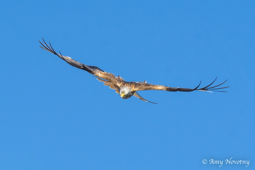 red kite diving June 29 3771