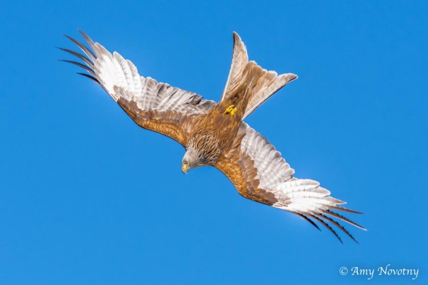red kite June 29 3483