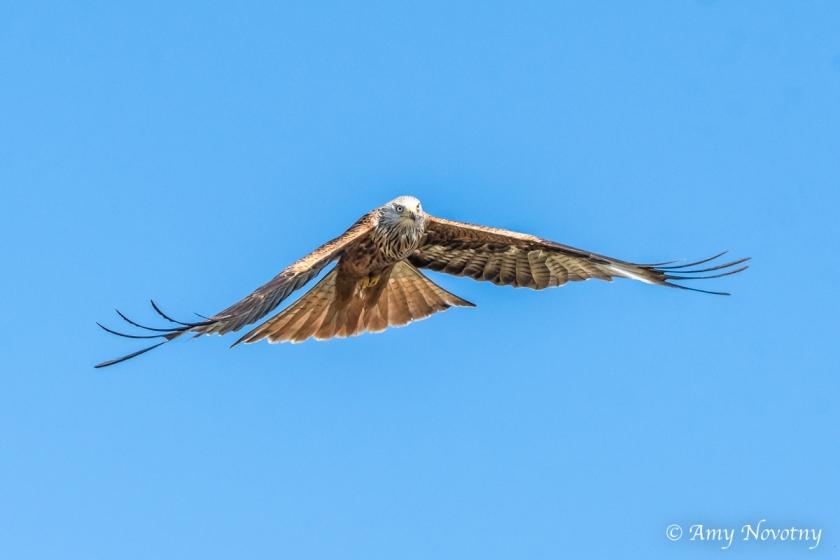 red kite June 29 3574