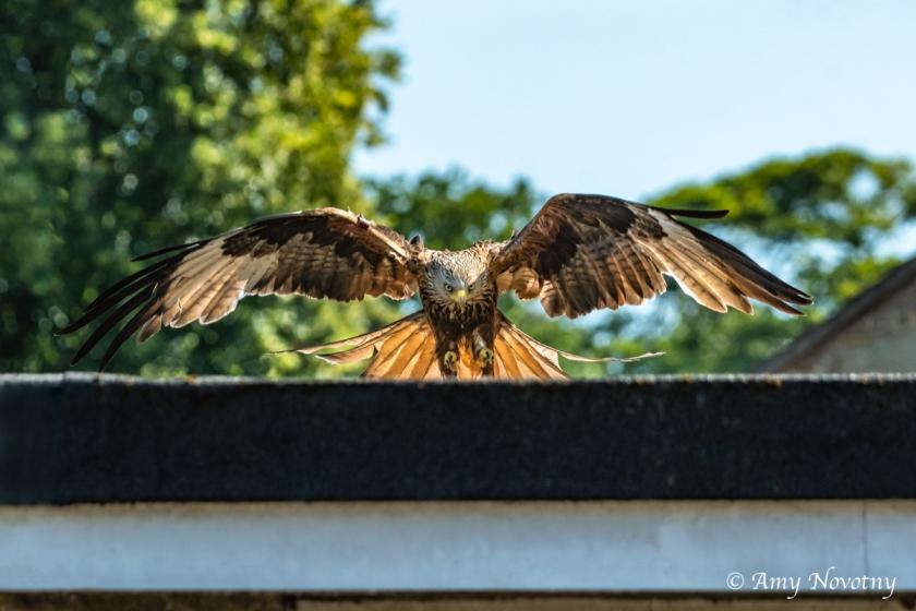 red kite landing June 29 2779