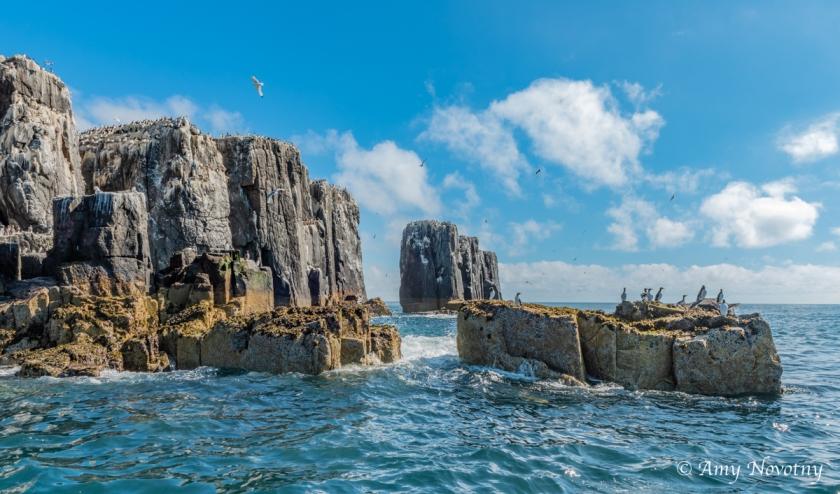 Staple Island July 3 9885