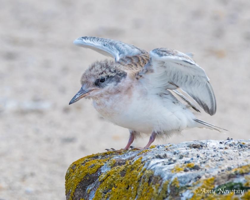 Tern chick July 6 6759