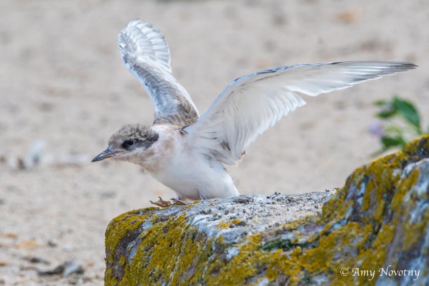Tern chick July 6 6768