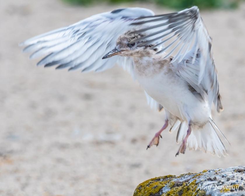 Tern chick July 6 6771
