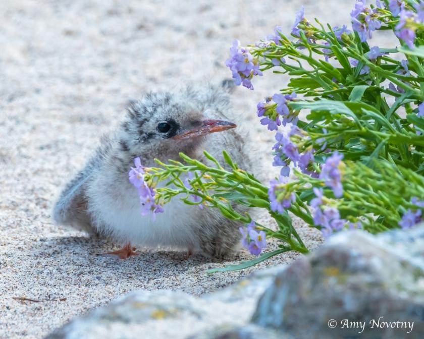 Tern chick July 6 6860