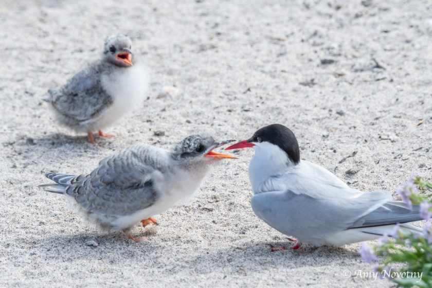 Tern chicks with parent July 6 6693