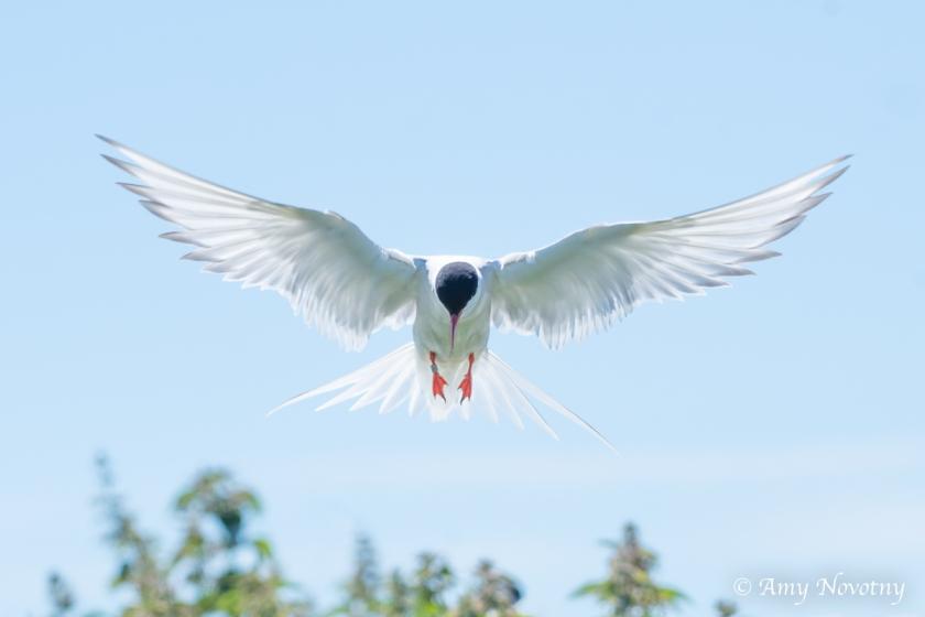 Tern flying July 3 0632